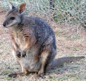 macropus_eugenii